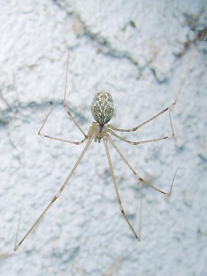 Cellar Spider (second of two images) - Holocnemus pluchei - female