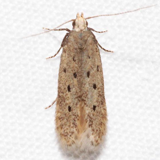 Monochroa quinquepunctella