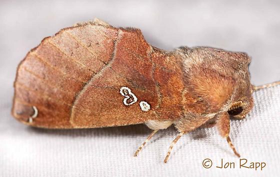 Moth - Pseudhapigia brunnea