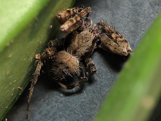Wild Palps - Neoscona crucifera - male