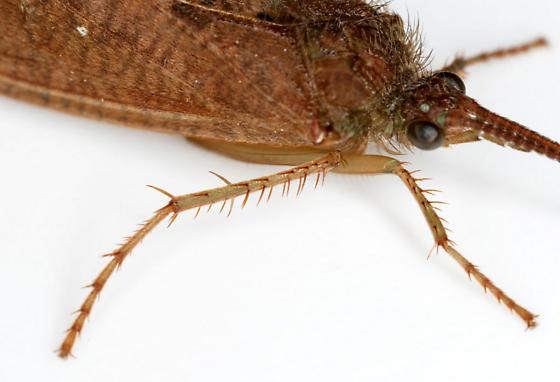 Large Caddisfly--tibial spurs - Ptilostomis - female