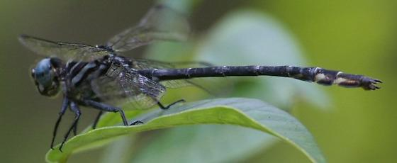 Arrow Clubtail - Ohio - Stylurus spiniceps - male
