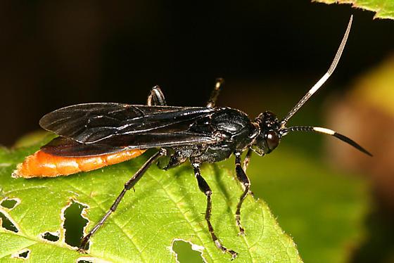 large ichneumon - Protichneumon grandis