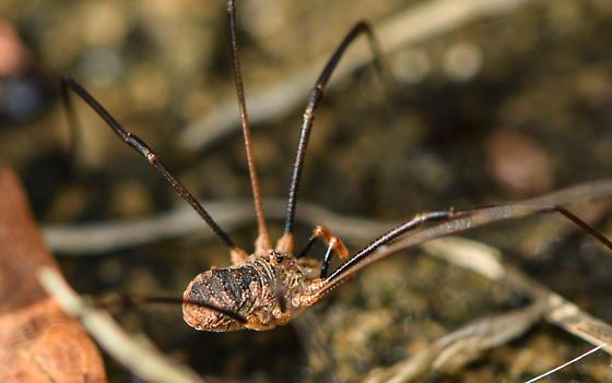 harvestman - Phalangium opilio - male