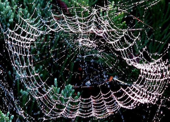 Spider Web - Leucauge argyra