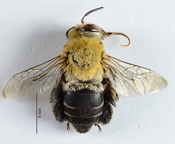 Centris Bee? - Centris - female