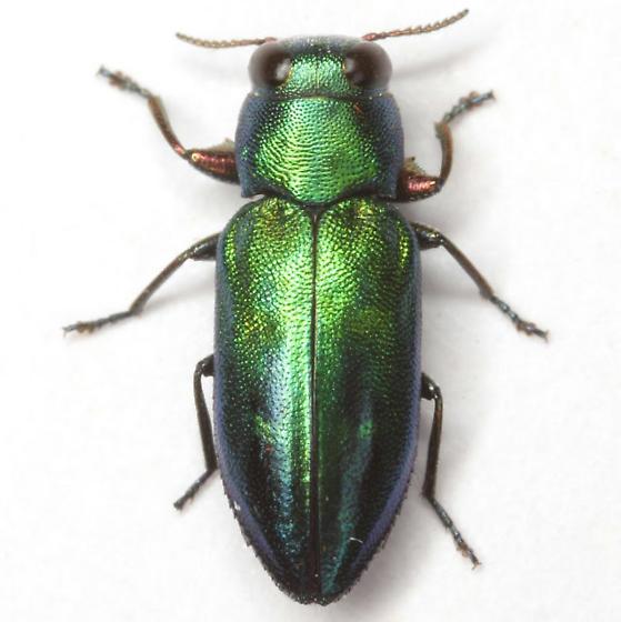 Chrysobothris purpureoplagiata Schaeffer - Chrysobothris purpureoplagiata
