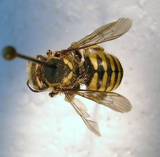 Megachilidae #2 - Anthidium sp. - Anthidium illustre - female