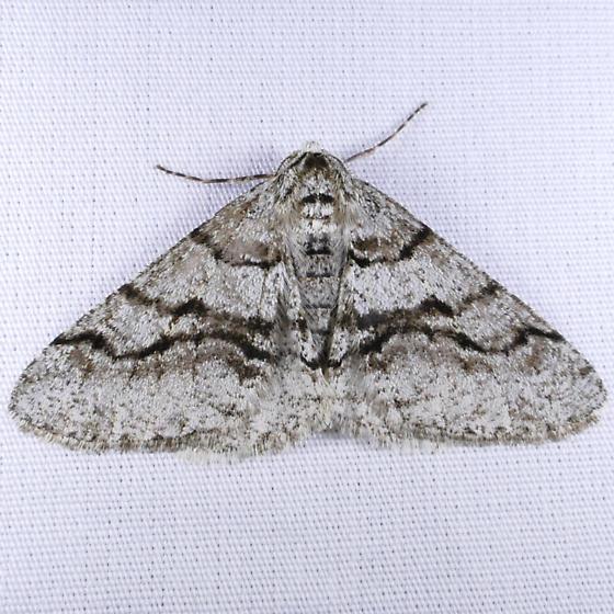 Half Wing - Phigalia titea - male