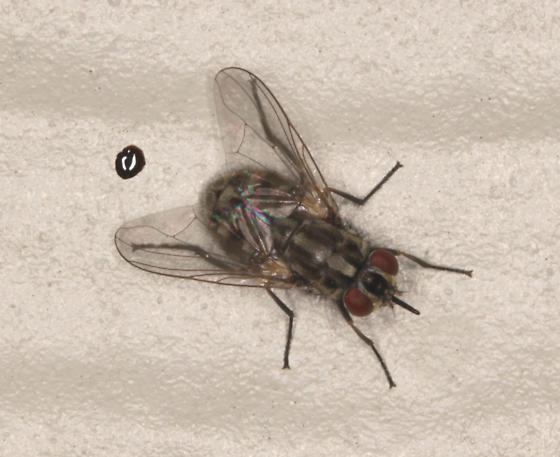 Muscidae, Stable Fly, on the house - Stomoxys calcitrans