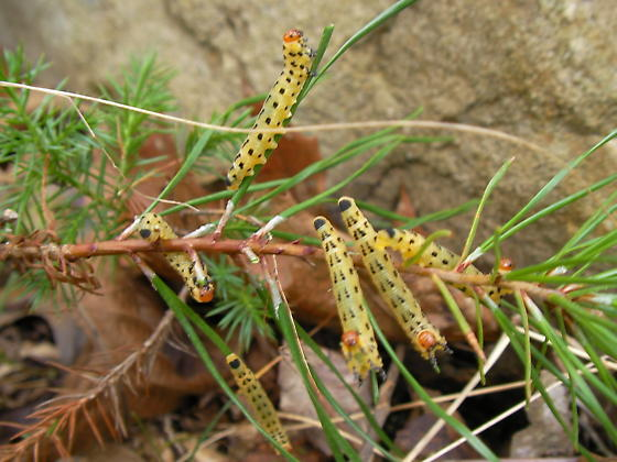 Red-headed Pine Sawfly larvae - Neodiprion lecontei