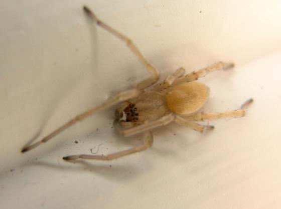 Small Ivory coloured Spider - Cheiracanthium - male
