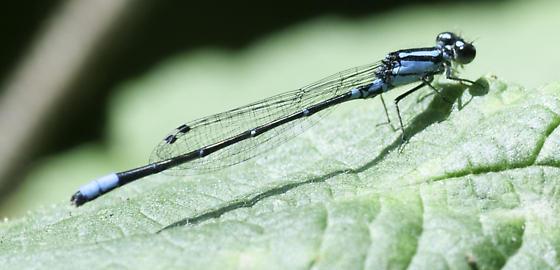 geminatum - Enallagma geminatum - male