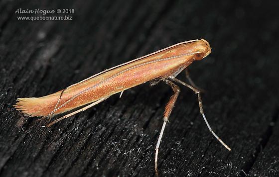 Caloptilia invariabilis ? - Caloptilia