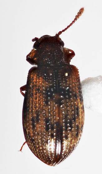 Coleoptera - Derodontus esotericus