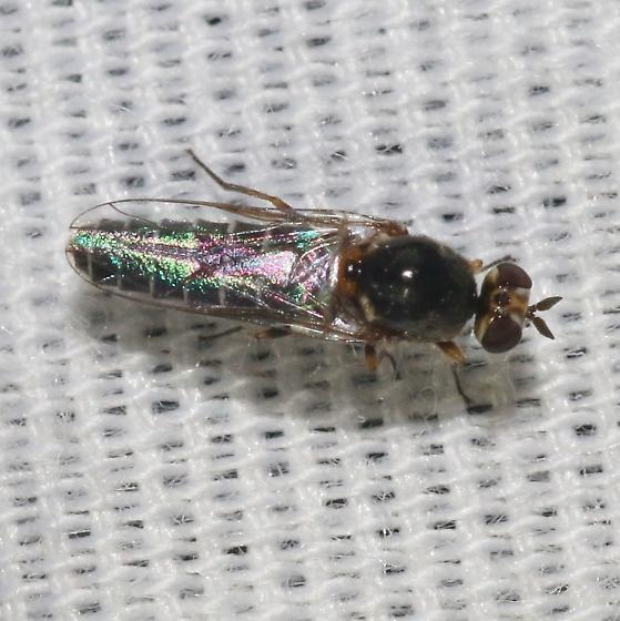 Fly - Belosta - female