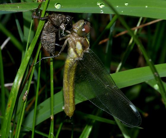 Spangled Skimmer - Libellula cyanea - Libellula cyanea - female