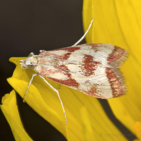 Red & White Moth on Desert Sunflower - Noctueliopsis aridalis