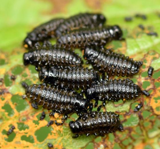 alder leaf beetle larvae - Chrysomela