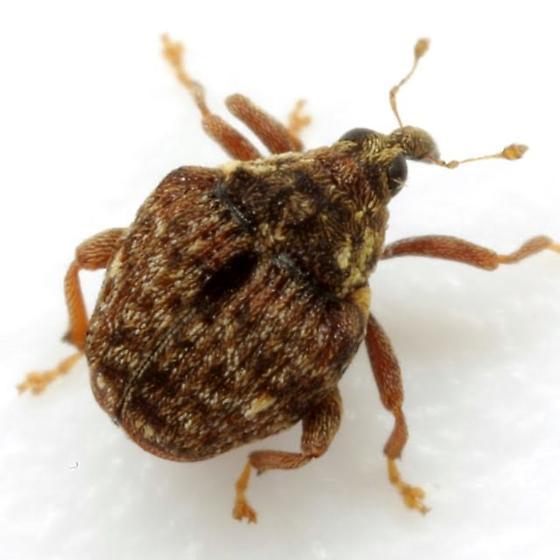 Hypocoeloides wickhami (Dietz) - Orchestomerus wickhami