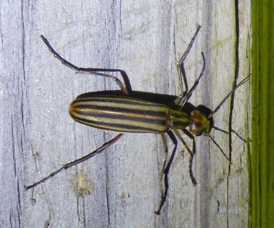 unknown insect - Epicauta