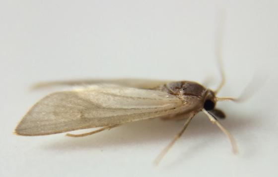 Moth - Acentria ephemerella