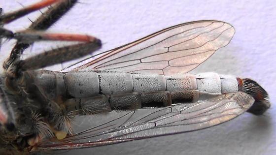 Robber Monster (ventral abdomen) - Efferia albibarbis - male
