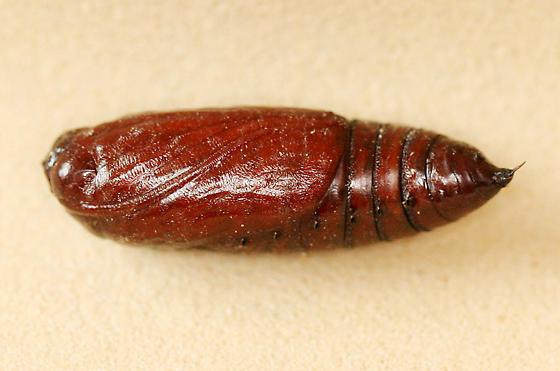 Brown Chrysalis / Pupa - Dargida procinctus