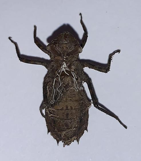 Stygian Shadowdragon exuvia - Neurocordulia yamaskanensis