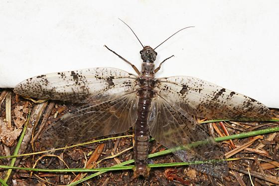Dobsonfly? - Orohermes crepusculus