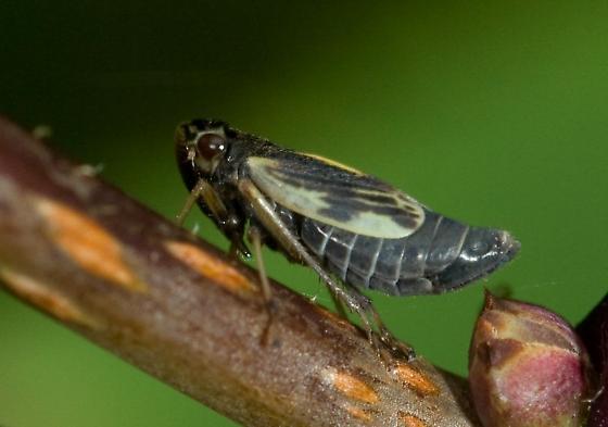 Evacanthus grandipes - female