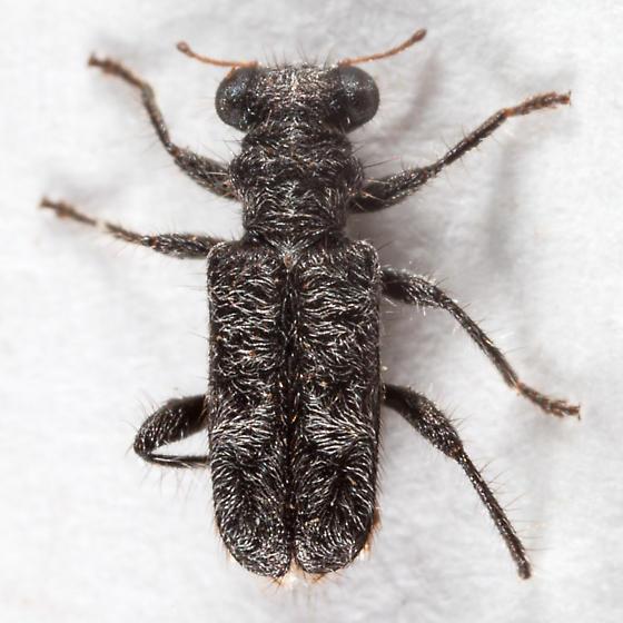 Phyllobaenus ? - Phyllobaenus