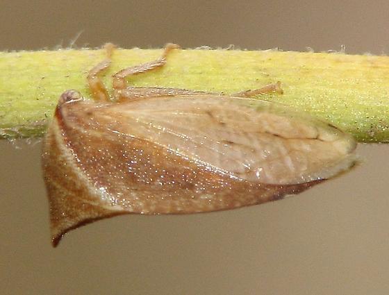 Buffalo treehopper, Ceresa sp. - Stictocephala possibly-undescribed