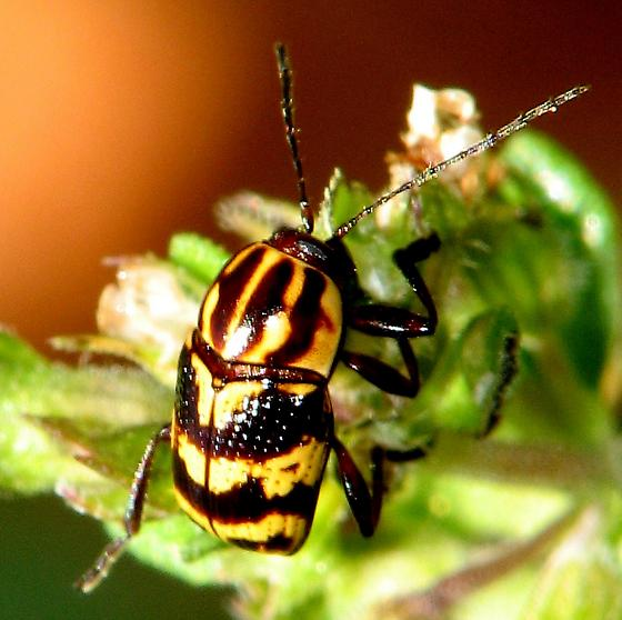 Red and Yellow Leaf Beetle, Cryptocephalus castaneus, Chyrsomelidae - Cryptocephalus castaneus
