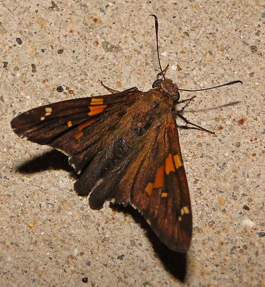 Common name? - Epargyreus clarus