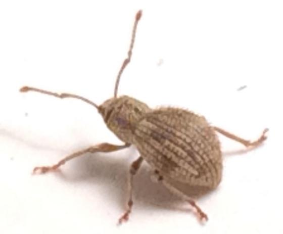 Weevil - Calomycterus setarius