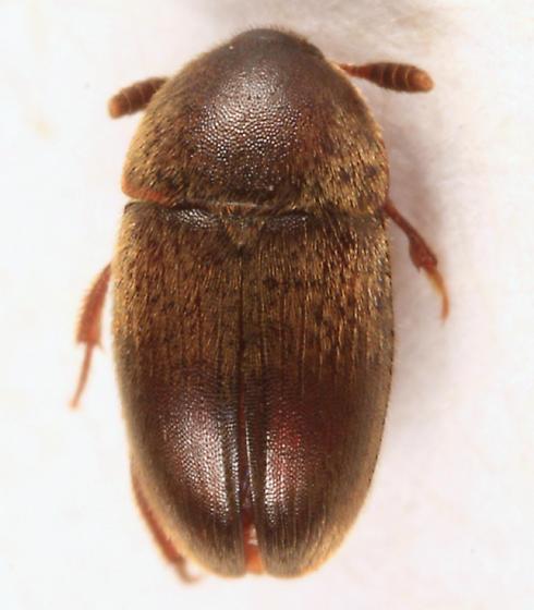 Round Fungus Beetle - Colon schwarzi