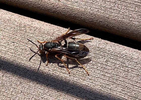 Mystery wasp - Polistes fuscatus - female