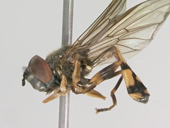 Syrphidae - Platycheirus
