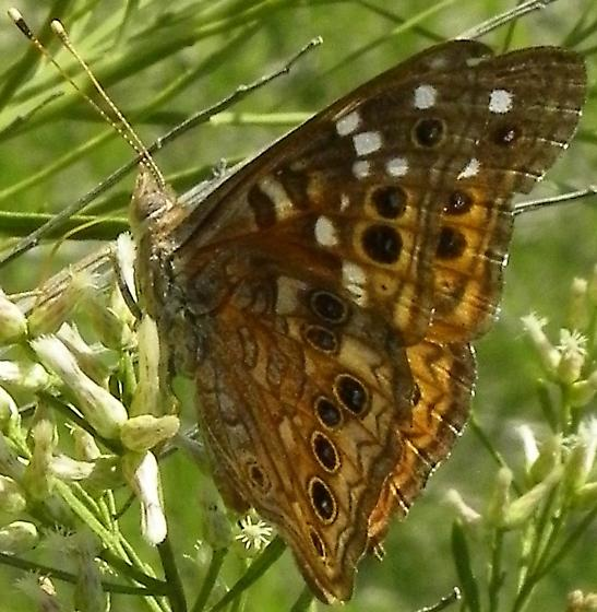 Empress Leilia - Hodges#4561 - Asterocampa leilia - male