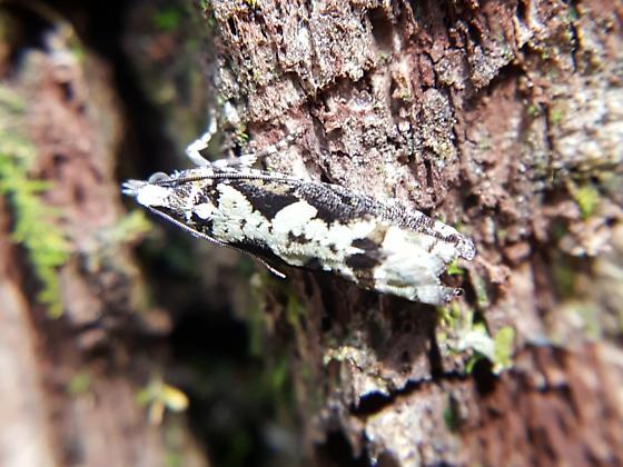 Small moth - Chimoptesis pennsylvaniana