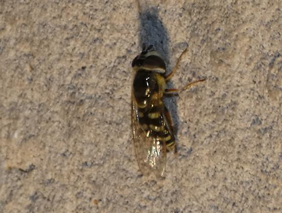 Hover Fly sp - Eupeodes volucris