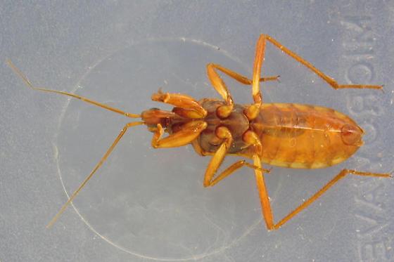 Western Corsair Bug - Rasahus thoracicus