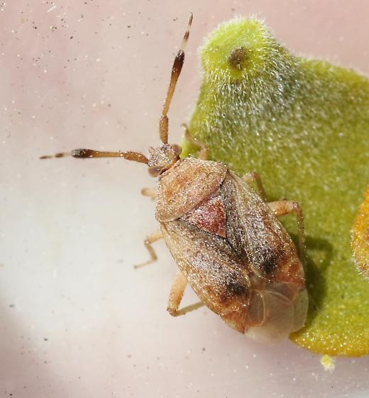 Pycnocoris ursinus