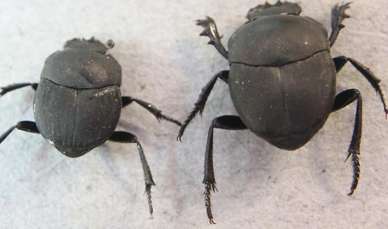 melanocanthon nigricornis - Dung Beetle - Melanocanthon nigricornis - male - female
