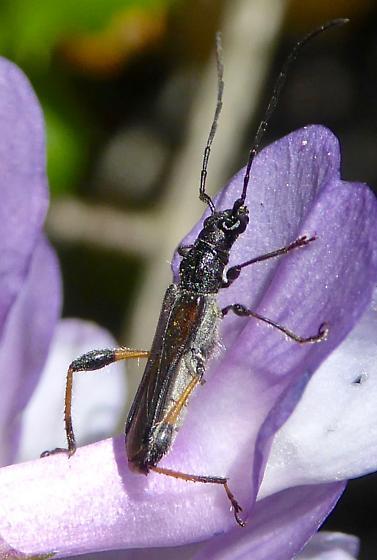 beetle - Callimoxys fuscipennis