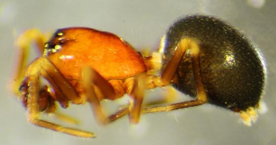 Tapinocyba simplex--voucher image - Tapinocyba simplex - male