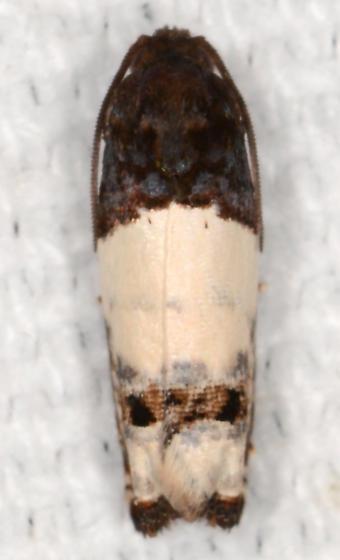 Epiblema scudderiana - Goldenrod Gall Moth - Epiblema scudderiana
