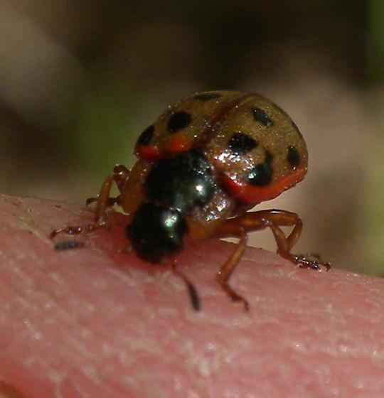 Bug or beetle? - Chrysomela mainensis