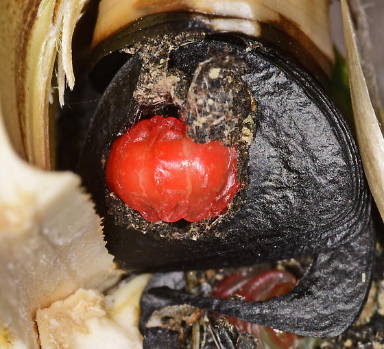 Yucca seed and larva within